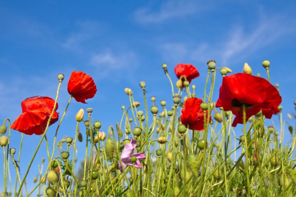 poppy-960x640.jpg