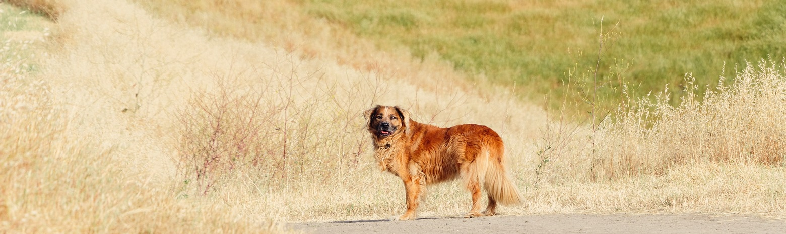 Brown Long Haired dog standing in field